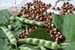 Coco bicolore prolifique