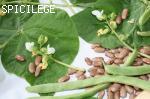 Saint Fiacre brun à cosse verte
