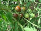tomate cerise noire