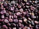 Violette de Sicile